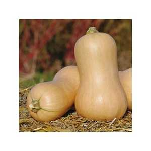 graines-courge-waltham-butternut-seeds